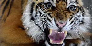 Harimau sumatera (Pathera tigris sumatrae). | SERAMBI INDONESIA/M ANSHAR